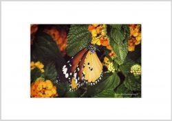 Vlinder-12