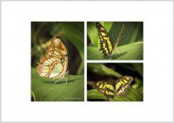 Vlinder-6