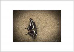 Vlinder-8