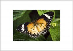 Vlinder-9