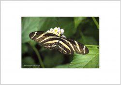 Vlinder-10