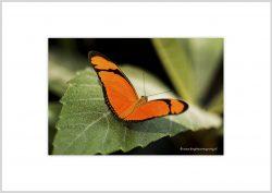 Vlinder-11