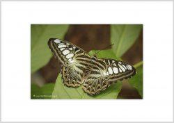 Vlinder-4