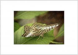 Vlinder-5