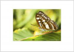 Vlinder-7